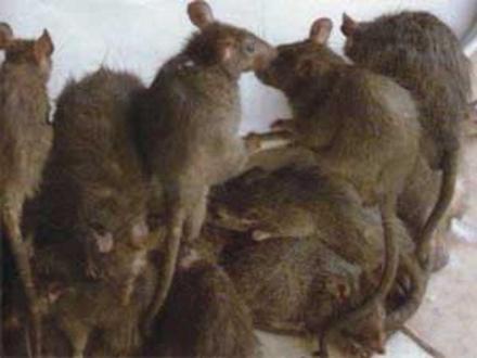Ratas!